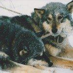Sled dogs, Chena Hot Springs Alaska, USA