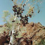 The 'Boot Tree' Pilbara WA